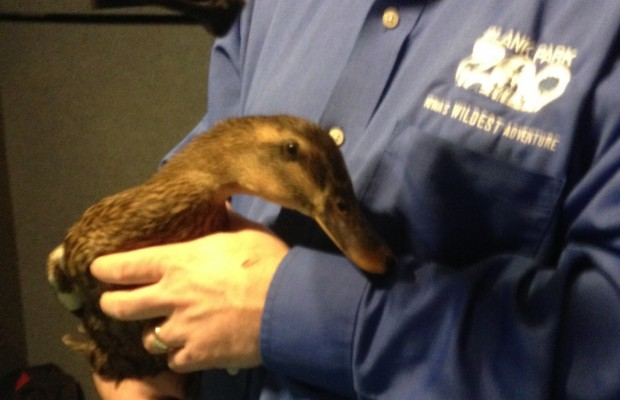 """Blank Park Zoo: """"Fiona"""" The Duck and Conservation"""