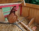 A chicken stands by three eggs in a portable chicken coop owned by Sandy Schmidt, in Silver Spring, Md., Sunday, Aug. 11, 2013.